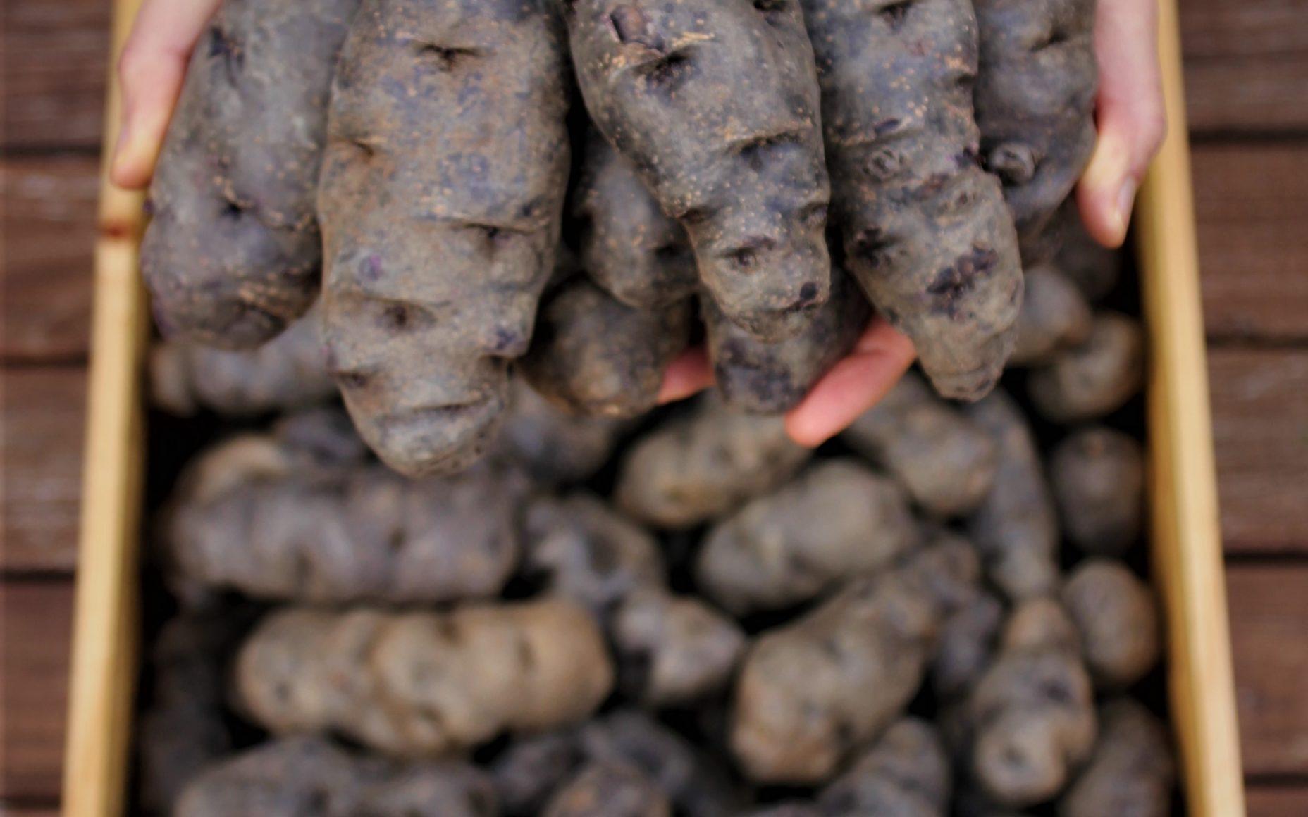 Taewa Māori Potatoes
